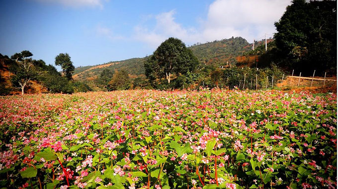 Lễ hội hoa tam giác mạch sẽ được tổ chức vào tháng 10/2016